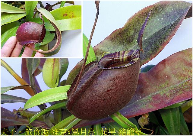 維京x黑月亮  蘋果 豬籠草.jpg - 食蟲植物 維京x黑月亮豬籠草 20210212