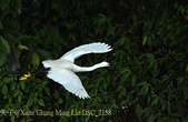 新北市坪林拱橋,賞白鷺鷥、黃頭鷺、夜鷺  2015/05/06:DSC_2158.jpg