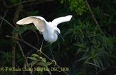 新北市坪林拱橋,賞白鷺鷥、黃頭鷺、夜鷺  2015/05/06:DSC_1808.jpg