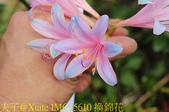 東引 紅藍石蒜 換錦花 玫瑰石蒜 2018/08/23:IMG_5610 換錦花.jpg