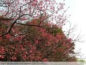 桃園虎頭山桃園高中櫻花開了! 2012/02/06:P1040979.jpg