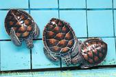 泰國攀牙海龜生態保育中心 20160207:IMG_5669 綠蠵龜 Chelonia mydas Green Sea Turtle.jpg