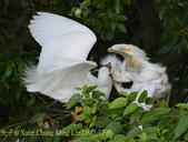 新北市坪林拱橋,賞白鷺鷥、黃頭鷺、夜鷺  2015/05/06:DSC_1795.jpg