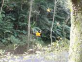 石門水庫楓葉紅了 2011/11/28:石門水庫高線楓林步道蜘蛛推楓葉.gif
