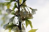 武界櫻花:霧社櫻、福爾摩沙櫻、 富士櫻、香水櫻 20150221:IMG_3304 福爾摩沙櫻.jpg