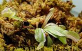 西伯利亞捕蠅草 Dionaea Siberia 20181122:西伯利亞捕蠅草 52236-1.jpg