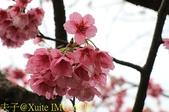 陽明山平菁街42巷賞櫻 2018/01/25:IMG_6429.jpg
