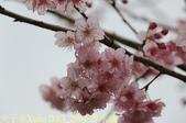 武界櫻花:霧社櫻、福爾摩沙櫻、 富士櫻、香水櫻 20150221:IMG_2994 香水櫻.jpg