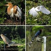 新北市坪林拱橋,賞白鷺鷥、黃頭鷺、夜鷺  2015/05/06:相簿封面