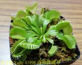 海神捕蠅草 Dionaea Triton 食蟲植物 20181108:47498 海神捕蠅草.jpg