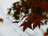 石門水庫楓葉紅了 2011/11/28:P1030469.jpg