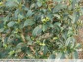 茶園害蟲 - 布袋蟲.避債蟲.躲債蟲 2012/06/07:躲債蟲-P1090221.jpg