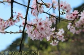 新北市三芝群櫻紛飛漫步行 - 三生步道 20140228 :IMG_8931.jpg