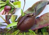 食蟲植物:維京x黑月亮  蘋果 豬籠草.jpg