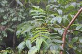 嘉義里佳 (藍色部落) 風流洞步道 2015/07/18 :IMG_2826 羅氏鹽膚木.jpg