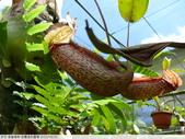 食蟲植物-宜蘭波的農場 2010/08/26:P1090373.JPG