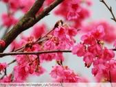 桃園虎頭山桃園高中櫻花開了! 2012/02/06:P1050029.jpg