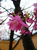 桃園市虎頭山櫻花開了 2010/01/31:桃園市虎頭山櫻花