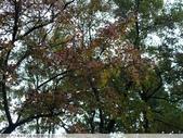 石門水庫溪洲公園 楓紅+落羽松 2011/12/28 :P1030294.jpg