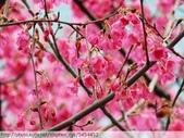 桃園虎頭山桃園高中櫻花開了! 2012/02/06:P1050020.jpg
