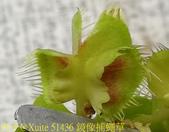 鏡像捕蠅草 Dionaea muscipula Mirror 20181117:51436 鏡像捕蠅草 .jpg