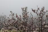 淡水楓樹湖古道木蘭花辛夷 20150225 :IMG_4150.jpg