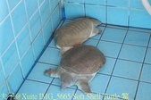 泰國攀牙海龜生態保育中心 20160207:IMG_5665 Soft Shell Turtle 鱉.jpg