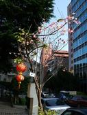 吉野櫻 VS 重瓣山櫻花 2010/02/08:P1070181.JPG