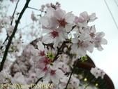 淡水無極天元宮, 櫻花開了!  2011/03/08 17:00 天氣: 陰:P1010456.jpg