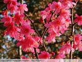 桃園虎頭山桃園高中櫻花開了! 2012/02/06:P1040992.jpg