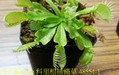 科里根捕蠅草  Dionaea Korrigans 20181112:科里根捕蠅草 48554-1.jpg