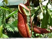 食蟲植物-宜蘭波的農場 2010/08/26:P1090343.JPG