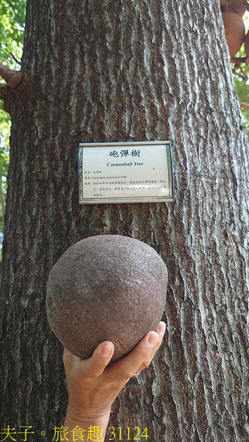 31124.jpg - 高雄梓官梓平公園砲彈樹 20210924
