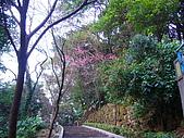 桃園市虎頭山櫻花開了 2010/01/31:P1000182.JPG
