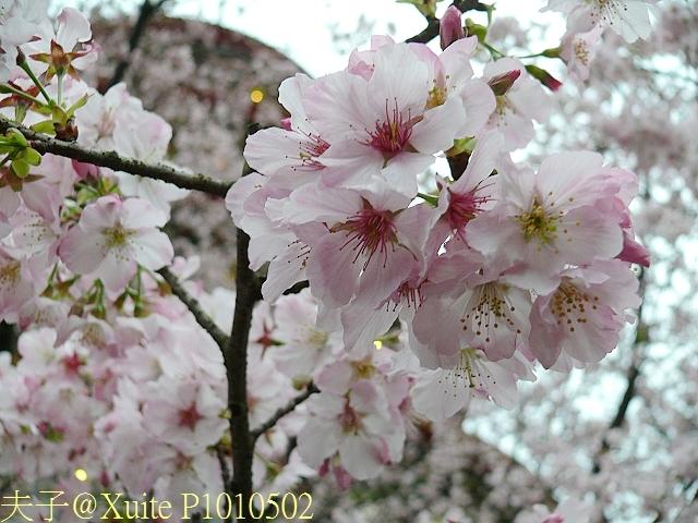 淡水無極天元宮, 櫻花開了!  2011/03/08 17:00 天氣: 陰:P1010502.jpg