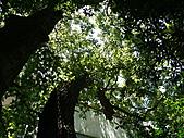 桃園龜山楓樹村百年楓香-楓樹路下土地公廟 2010/08/20:P1090226.JPG