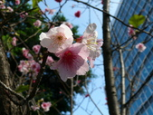 吉野櫻 VS 重瓣山櫻花 2010/02/08:P1070209.JPG