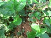 紅火蟻:IMG_2772.jpg