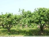 我每年中秋吃柚子, 柚子花第一次看:P1020331.JPG