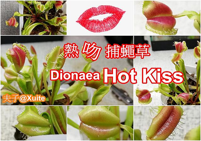 熱吻捕蠅草-1.jpg - 熱吻捕蠅草 (Dionaea Hot Kiss) 20181117