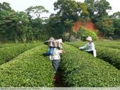 東方美人, 上天巧妙安排的神奇美味-首部曲, 採茶:P1030076.JPG