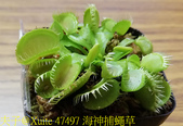 海神捕蠅草 Dionaea Triton 食蟲植物 20181108:47497 海神捕蠅草.jpg