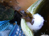 有機菜園的意外看見青蛙交配 (青蛙下蛋) 3P 喔!:P1070149.JPG