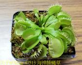 海神捕蠅草 Dionaea Triton 食蟲植物 20181108:47513 海神捕蠅草.jpg