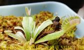 西伯利亞捕蠅草 Dionaea Siberia 20181122:西伯利亞捕蠅草 52244-1.jpg