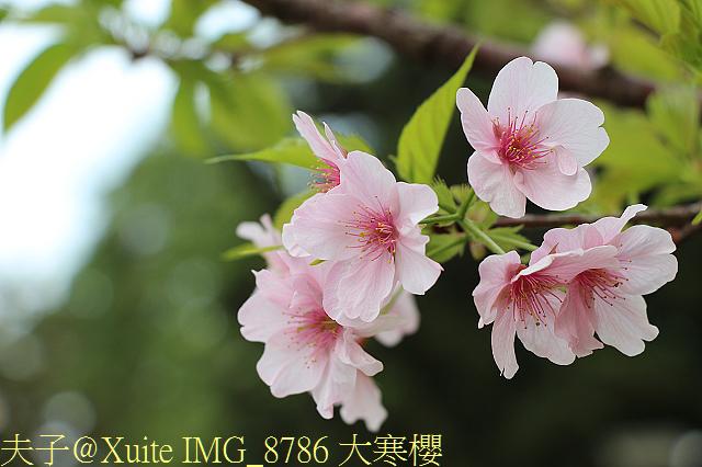 IMG_8786 大寒櫻.jpg - 台北市中正紀念堂,大漁櫻、大寒櫻、修繕寺寒櫻 20160306