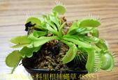 科里根捕蠅草  Dionaea Korrigans 20181112:科里根捕蠅草 48555-1.jpg