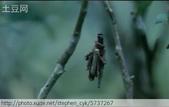 茶園害蟲 - 布袋蟲.避債蟲.躲債蟲 2012/06/07:魯冰花電影-2.jpg
