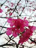 桃園市虎頭山櫻花開了 2010/01/31:P1000205-1.jpg