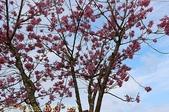 武界櫻花:霧社櫻、福爾摩沙櫻、 富士櫻、香水櫻 20150221:IMG_3292 富士.jpg